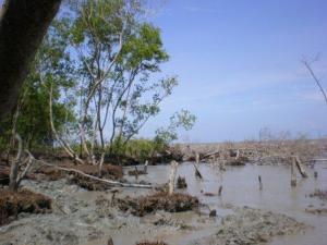 Kondisi hutan mangrove akibat abrasi air laut
